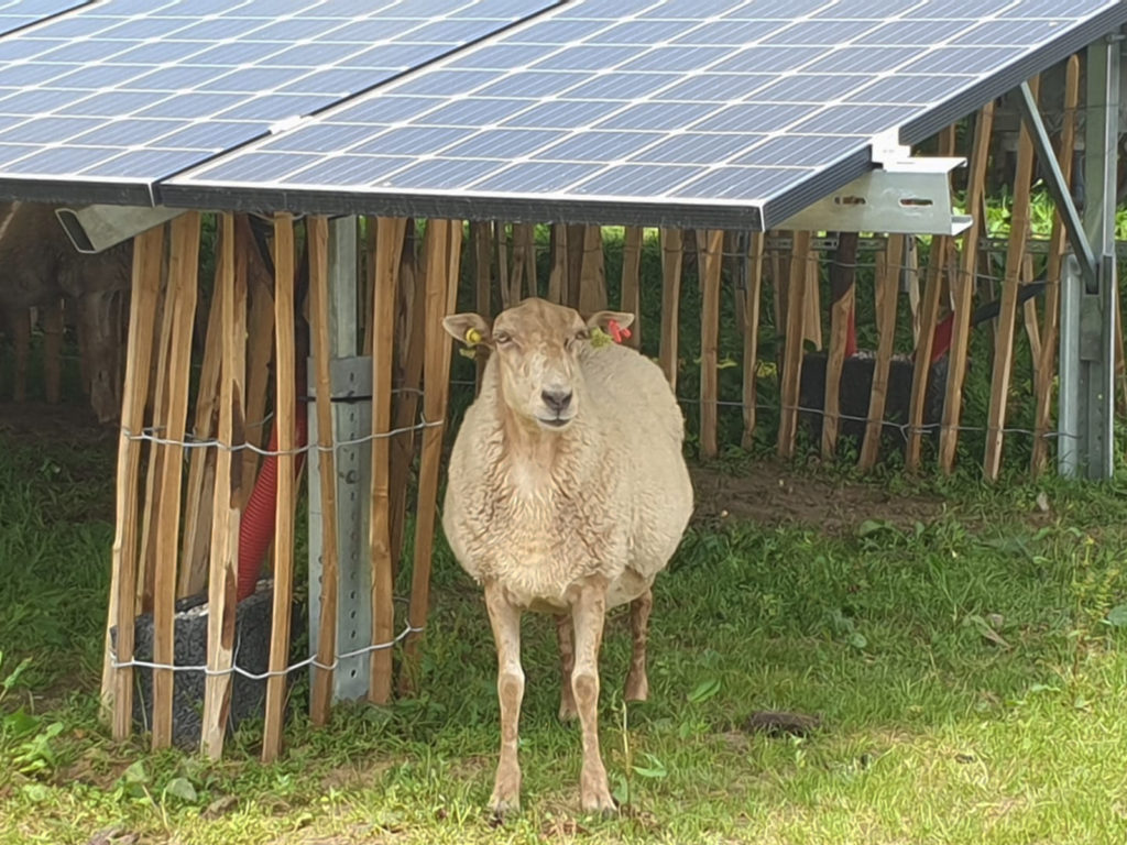 Sheep on the gras beneath solar panels.